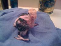 Red Lored Amazons ( on three feedings per day) $450