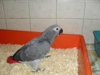 2 baby African Grey Parrots for sale. Both very tame,