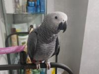 Super tamed baby African Grey parrot for sale, close