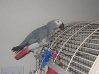 BABY AFRICAN GREY PARROT   Silver Congo African Grey