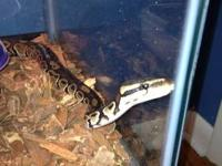 I have 1 ball python for sale. A female and she is 8