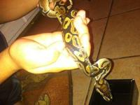 Looking for a great home for my baby ball python that
