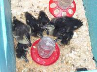 BABY BANTAM CALL DUCKS DOMESTIC DUCKS 3/4 THE SIZE OF