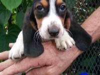 The Basset Hound is independent but sociable, calm,