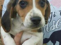 i have 2-12 week old female beagle puppies have had 2