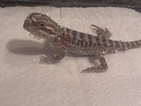 I currently have 5 Bearded Dragon babies looking for