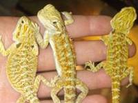 I have baby bearded dragons, males and females. Very