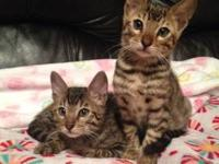 I have one baby bengal kitten ready for a new home. 8