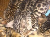 Our bengal recently had a litter of 8 kitties. 3 are