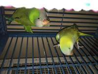Baby & Birdie are a bonded pair of Quaker parrots. They