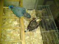 we have beautiful baby lovebirds available. as of now