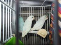 I HAVE BABY COCKATIELS GRAY AND WHITE I HAVE GRAY /