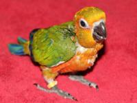 Hi; I currently have Sun Conures, Jenday Conures and