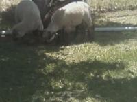 I have 3 baby black face lambs, about 3 months old,