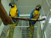 Baby Blue and Gold Macaws for $1,050.00 each. If you