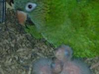 Hello, I have two child Blue-Crown Conure Chick's! I