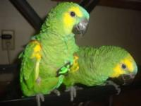 I have 2 baby Blue Front Amazons available, looking to