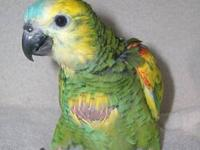 A beautiful female Blue Fronted Amazon baby for sale.
