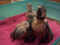 I have 2 baby blue and gold macaws left. They are 5