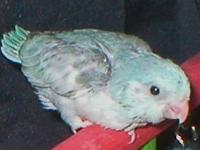 Baby Blue Male Parrotlet Will include hatch and health