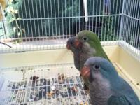 I have available 2 baby blue quaker parrots. They are