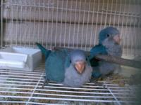 very sweet good talkers hand fed baby blue quaker