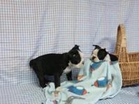 boston terrier puppies: 2 female, 2 male available -