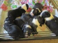 I have 8 baby Boston Terriers for sale. 5 are males and