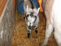 Purebred Alpine Buckling. Born March 8, 2012. He will