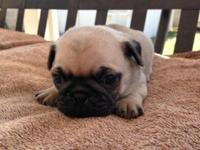 He is pured bred. He Is 8 weeks old and needs his new