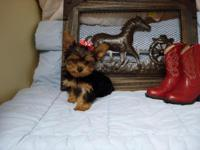 ''Yorkie Baby Boy-Nick-Named-''Lil'-Man''--Born