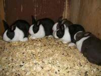 8 week old pastel mini rex rabbits, and chocolate and