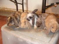 Baby Bunnies for sale. I have a lot of colors and types