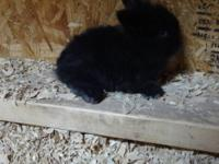 i have 2 adorable baby bunnies for sale, one boy who is