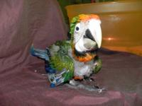 We have a baby Camelot macaw that is 6 weeks old.. Very