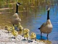 We have about 10 baby canadian geese left for sale,