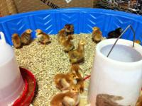 Baby Chicks For Sale Breeds: Rhode Island Red, Plymouth