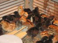FRENCH BLACK COPPER MARANS CROSSED ON BLACK MARAN