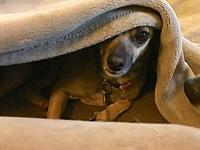 Baby's story Baby is a 8.5 year ols Chihuahua. She