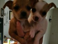 I have two male baby chihuahuas they ready to go to new