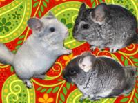 Three very cute, VERY young baby chinchillas available.