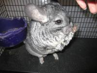 Grey chinchillas born 6/9/13. More due soon with the