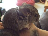 I have two beautiful standard grey baby chinchillas for