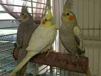 We have a few child cockatiels up for adoption. Each