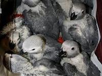 I have lovely African Grey Babies available for sale.