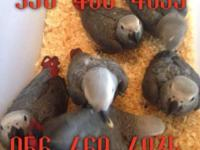 I got baby Congo grey available for $1300 each comes
