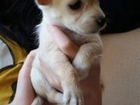These female Chihuahua puppies are super cute and