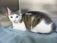 My story Baby is a beautiful 1  year old domestic short