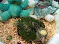 Hand feeding baby Double Yellow Headed Amazon parrot on