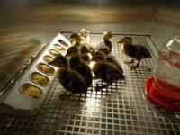 Baby Ducks 4 Sale 2 days to 1 mounth old $4.00 to $5.50